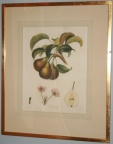 Antique botanical print of pears in simple gold leaf frame.
