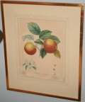 Antique botanical print of apples​ in simple gold leaf frame.